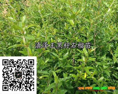 滇泽王黑籽石榴苗