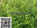 黑籽石榴苗、软籽石榴苗供应,技术指导18869889661