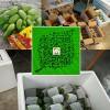 新芒果产地销售/云南芒果之乡◆生芒果包邮价