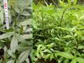 花椒苗怎么卖、青花椒苗如何种植