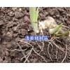 滇黄精根茎苗-弥勒黄精苗供应