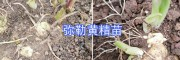 产地红河州黄精苗报价——云南滇黄精种苗