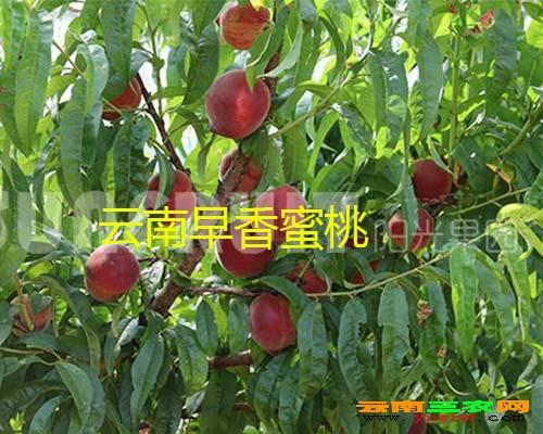 云南早香蜜桃