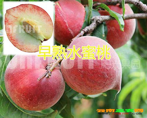 早熟水蜜桃