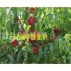 全国早熟水蜜桃:早香蜜桃上市预定_13529803395