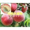 早熟水蜜桃批发商:弥勒西二镇的早香蜜桃_云南水蜜桃