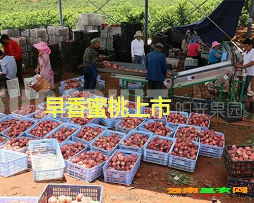 早香蜜桃上市