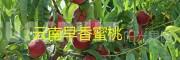 早熟水蜜桃品种:早香蜜桃上市出售-预定13887396111