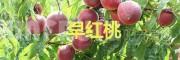 弥勒西二镇的早香蜜桃—云南早熟水蜜桃批发