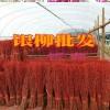 富贵竹水培繁殖方法和银柳养殖技术?