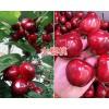 大樱桃种苗批发/红宝石甜樱桃种植技术-13987122159