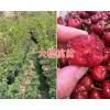 云南车厘子-大樱桃苗基地:黑珍珠白玉珍珠/拉宾斯-早大果樱桃