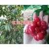 大樱桃苗基地:砂蜜脱、美早、布鲁克斯樱桃苗出售