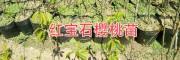 红宝石甜樱桃苗销售—云南大樱桃苗基地