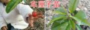 美洲大樱桃苗&红宝石甜樱桃苗-昆明车厘子苗