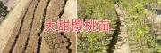 贵州-云南大樱桃苗:拉宾斯-红灯早大果黑珍珠/白玉珍珠樱桃苗