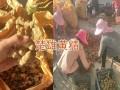 楚雄滇黄精小苗出售,数量大价格优13987819680