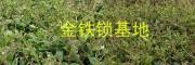 独定子增产营养肥#金铁锁植物蛋白酚批发-1591253795
