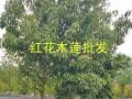 红花木莲树16-20公分:文山红花木莲13887857178