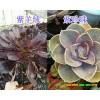 昆明多肉植物-春萌/葡萄出售*云南多肉植物供应