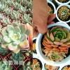 云南多肉植物批发:奥普琳娜-棕梅桂#百会锦-笨吧多肉