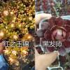 多肉植物:红之玉-白凤/红叶季-火季片批发