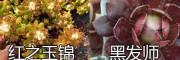 云南多肉植物基地:红之玉锦-黑发师/鹿角海棠-静叶多肉销售