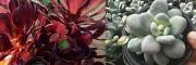 多肉植物盆栽自产自销-昆明多肉批发市场:美丽紫阳荣-白美人