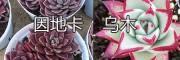 云南多肉植物种植户&昆明多肉基地:因地卡-乌木-蛛丝卷-紫乐