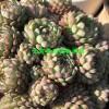 多肉植物[免费技术指导]-多肉植物图片大全[权威认证]