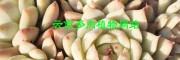 多肉植物图片大全[权威认证]