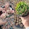 云南姐妹园艺多肉植物|昆明多肉栽培-无病虫害多肉销售