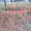 川贝母苗货源:川贝母驯化苗-川贝母组培苗_云南川贝苗