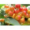 樱桃树苗价格多少钱一株?