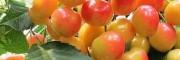 种植玛瑙红樱桃需要具备的条件?