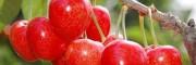 早大果樱桃3年苗价格 先锋樱桃苗销售 先锋樱桃苗价格