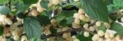 拉宾斯樱桃苗哪里 拉宾斯樱桃苗多少钱