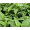 优质糯米香草篾厂种植
