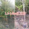 云南红豆杉袋苗-昆明红豆杉苗木基地#1-1.5m红豆杉苗