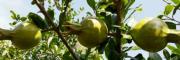 突尼斯软籽石榴种植批发商——滇泽王软籽石榴-黑籽石榴