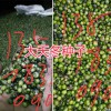 天冬种植-栽培方法#云南大天冬种苗-丽江大天冬