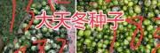 天门冬种植方法—丽江大天冬种苗-13578350904