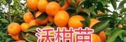 云南红河州沃柑苗-嫁接果苗,品质保证-成活率高