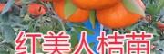 红美人桔苗销售——红河开远红美人柑橘苗