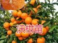 云南哪有沃柑苗/开远沃柑袋苗批发-13577325206