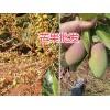 云南芒果种类—保山芒果销售:鹰嘴芒果、金煌芒果、台农1号