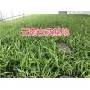 云南白芨组培驯化苗-紫花白芨直播苗供应