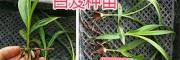 紫花白芨驯化苗-云南三叉白芨苗-黔西南基地供应