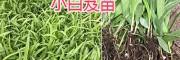 云南白芨-组培驯化苗—优质三叉白芨