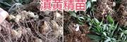 滇黄精育苗移栽—出售云南滇黄精苗-每亩251公斤根茎